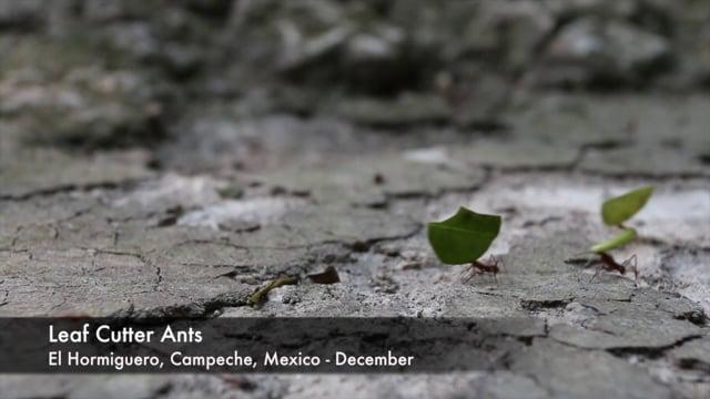 Ants, Leaf Cutter
