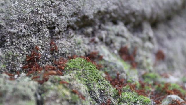 Ants Moving Pupae