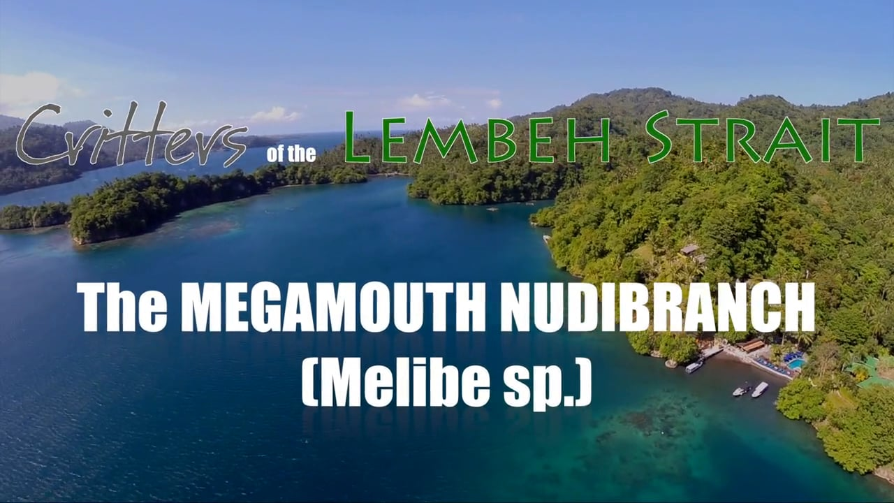 Critters of the Lembeh Strait   The Megamouth Nudibranch (Melibe sp.)