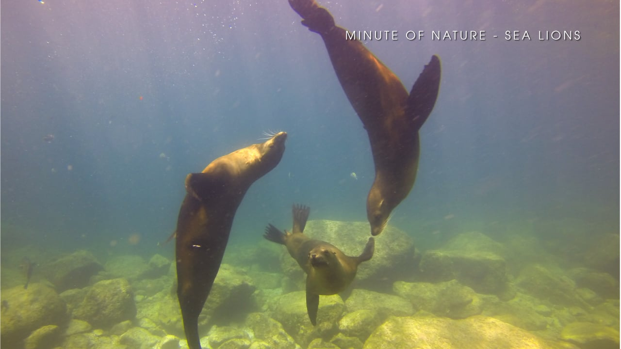 Minute of Nature - Sea Lions