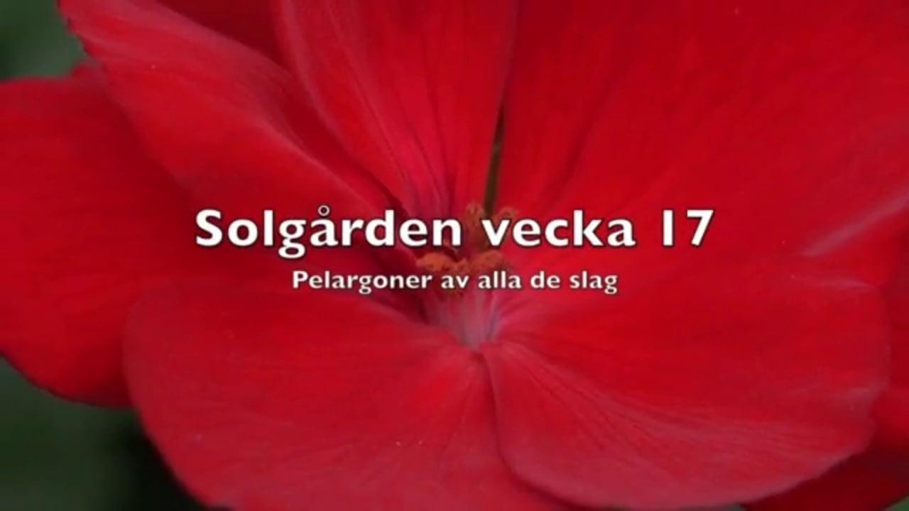 Solgården V 17  Pelargoner