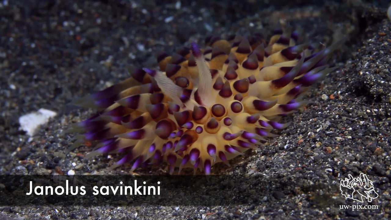 Critters of the Lembeh Strait   Nudibranchs with ID
