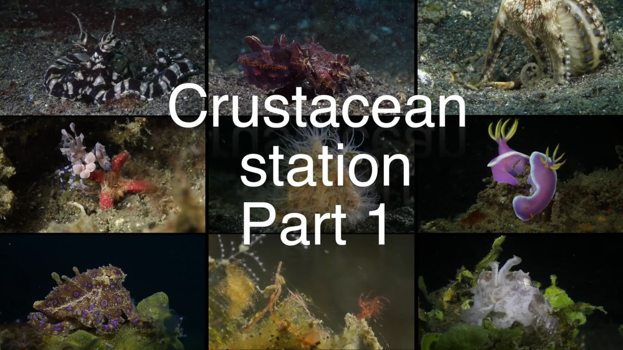 Critters of the Lembeh Strait   Episode 14 - 2015   Crustacean Station Part 1