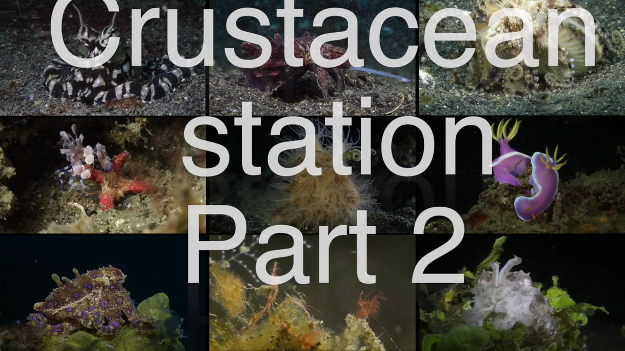 Critters of the Lembeh Strait   Episode 15 - 2015   Crustacean Station Part 2