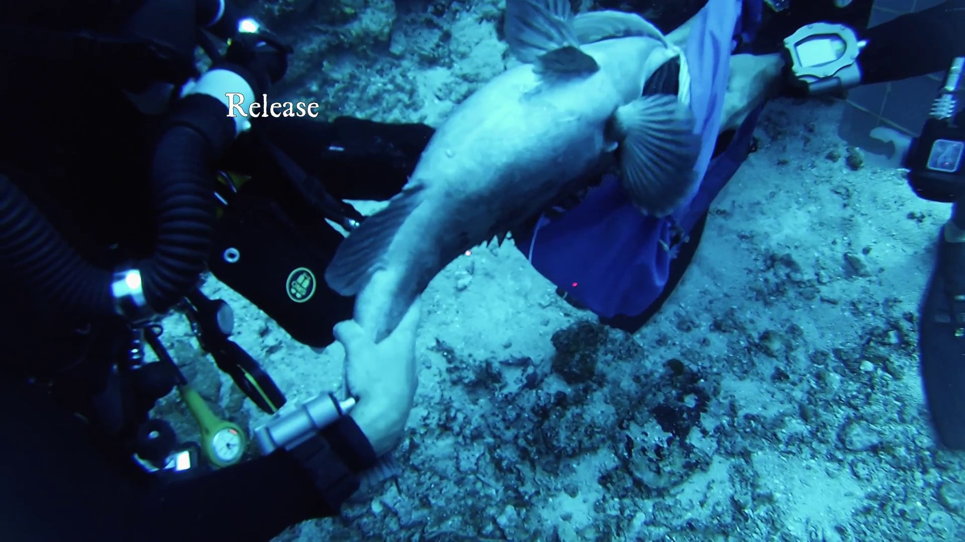 In-situ acoustic tagging using closed-circuit rebreathers in Puerto Rico