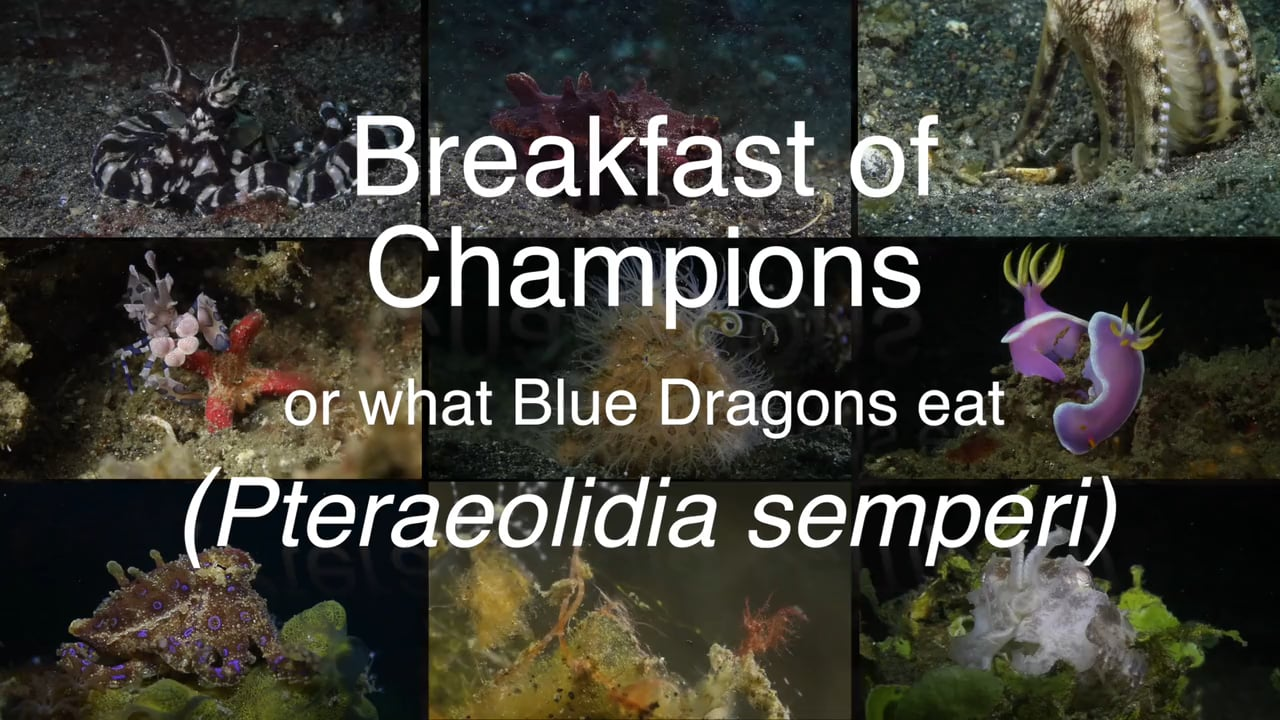 Critters of the Lembeh Strait   Episode 18 - 2015   Breakfast of Champions
