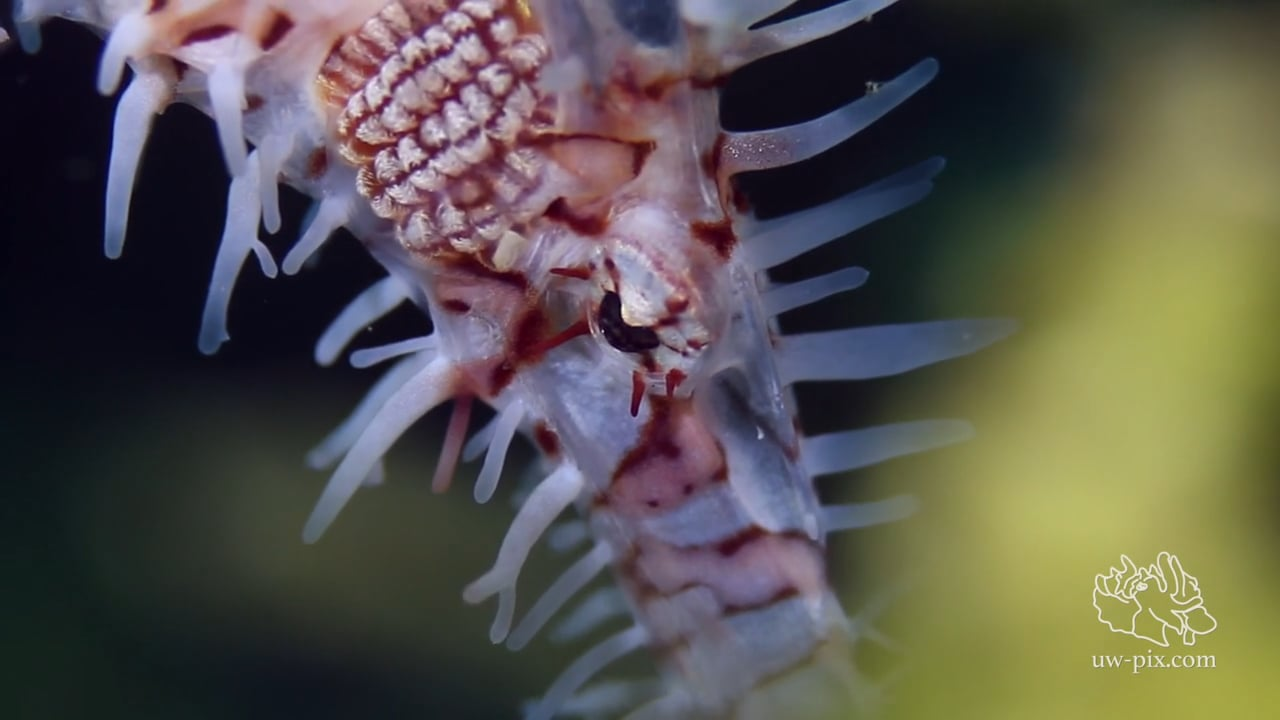 Critters of the Lembeh Strait   Episode 20 - 2015   The Good, The Bad and The Ugly - Part 2