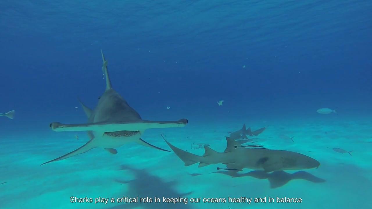 Dutch Caribbean Sharks