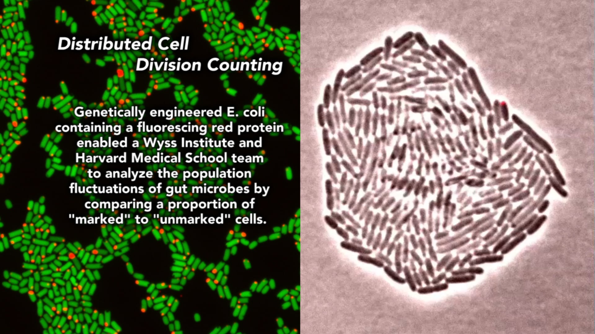 Distributed Cell Division Counter