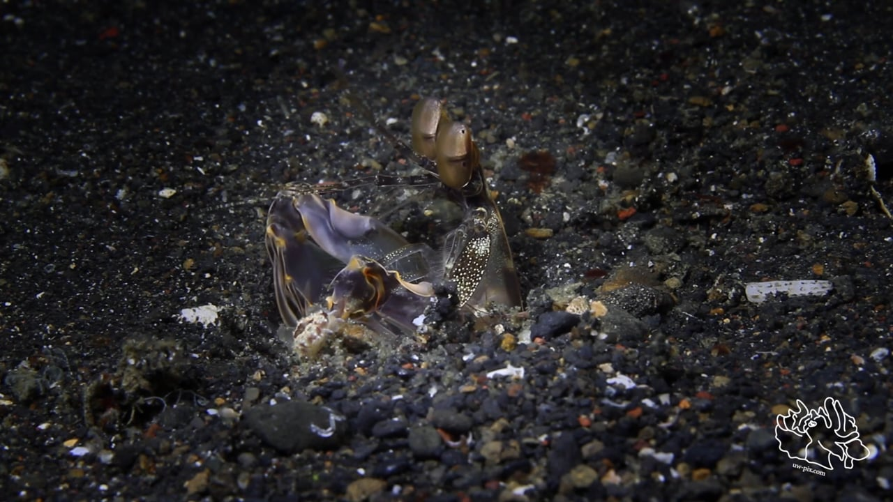 Critters of the Lembeh Strait   Episode 22 - 2015   Spookiest Critters - Part 2
