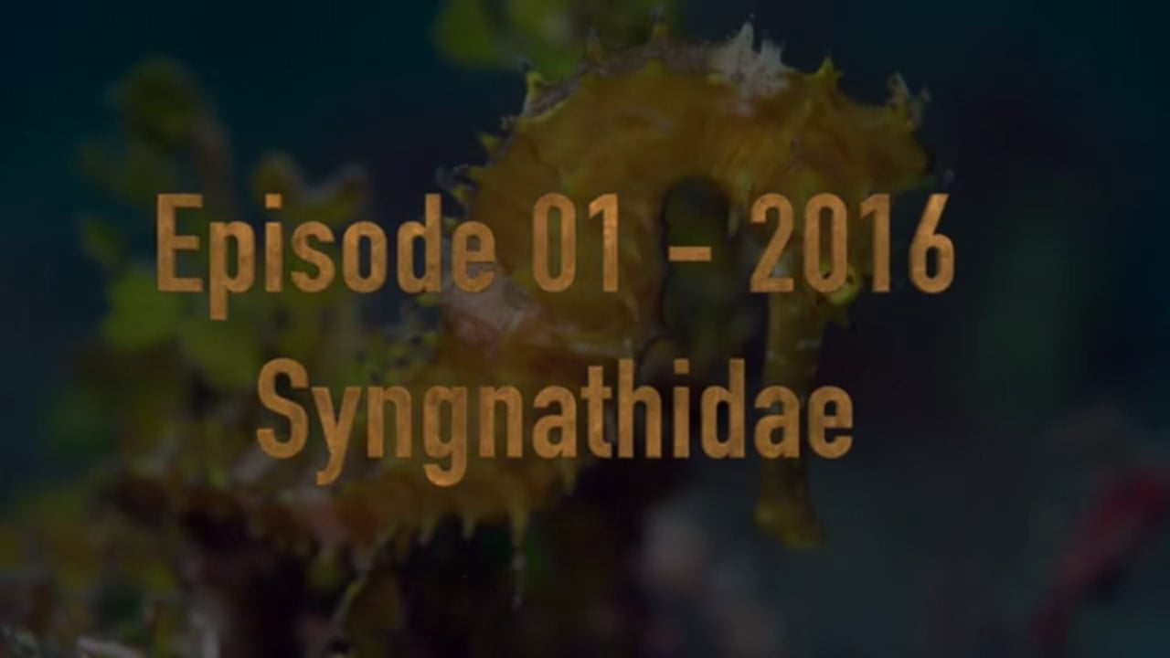Critters of the Lembeh Strait   Episode 01 - 2016   Syngnathidae