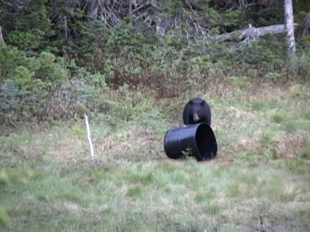 Newfoundland Black Bear