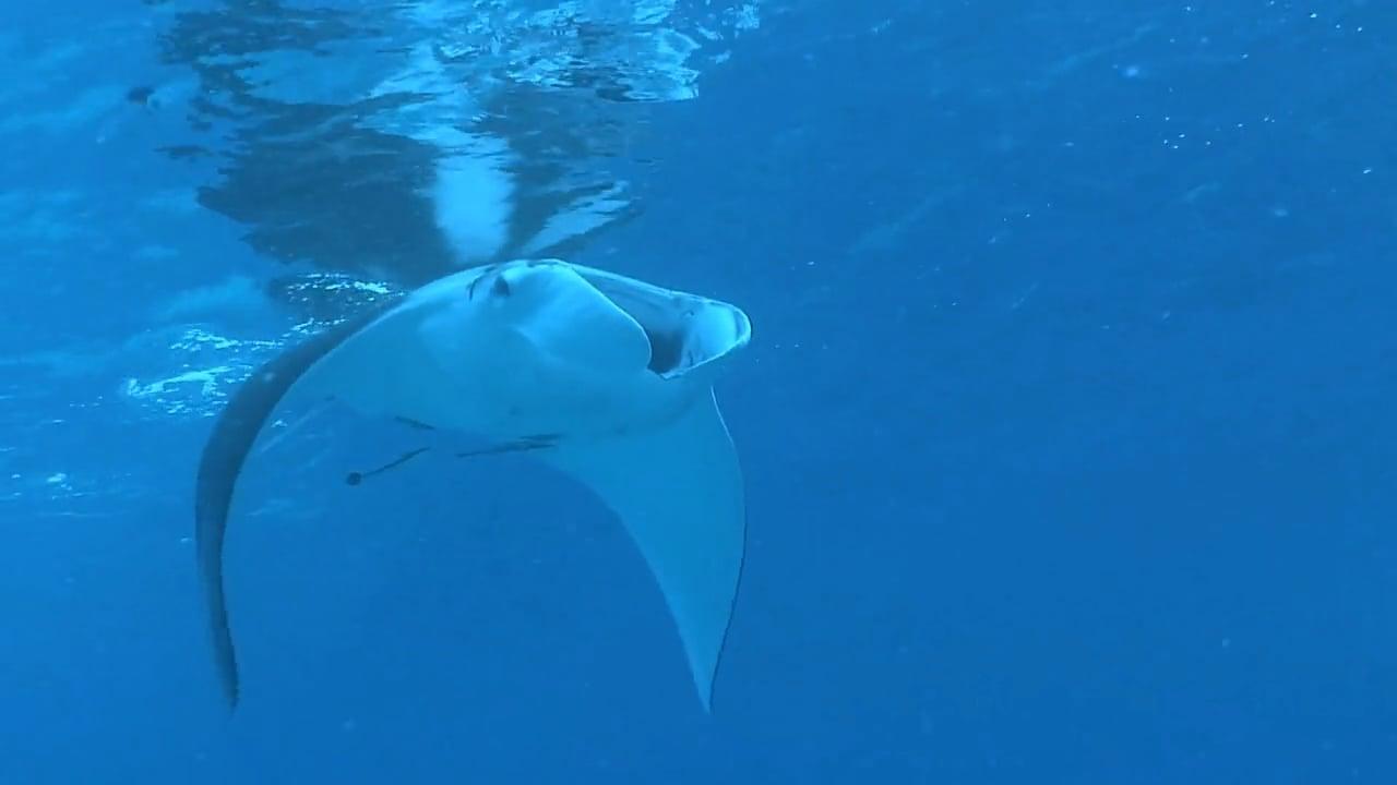 Caribbean rays and sharks