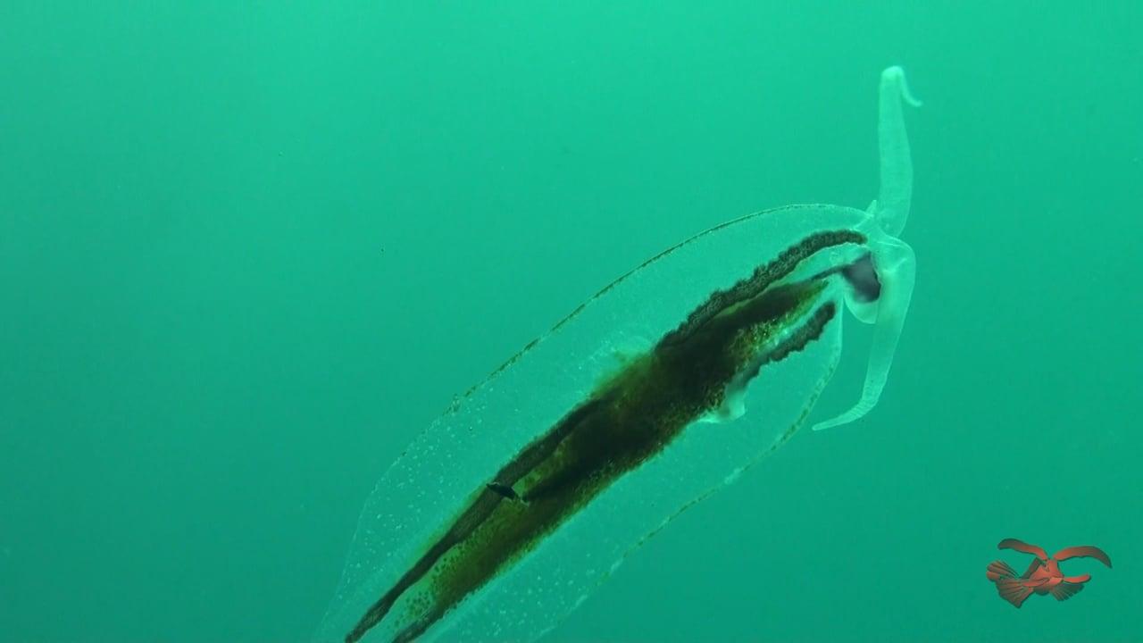 A Very Rare Pelagic Nudibranch - Phylliroe Sp.
