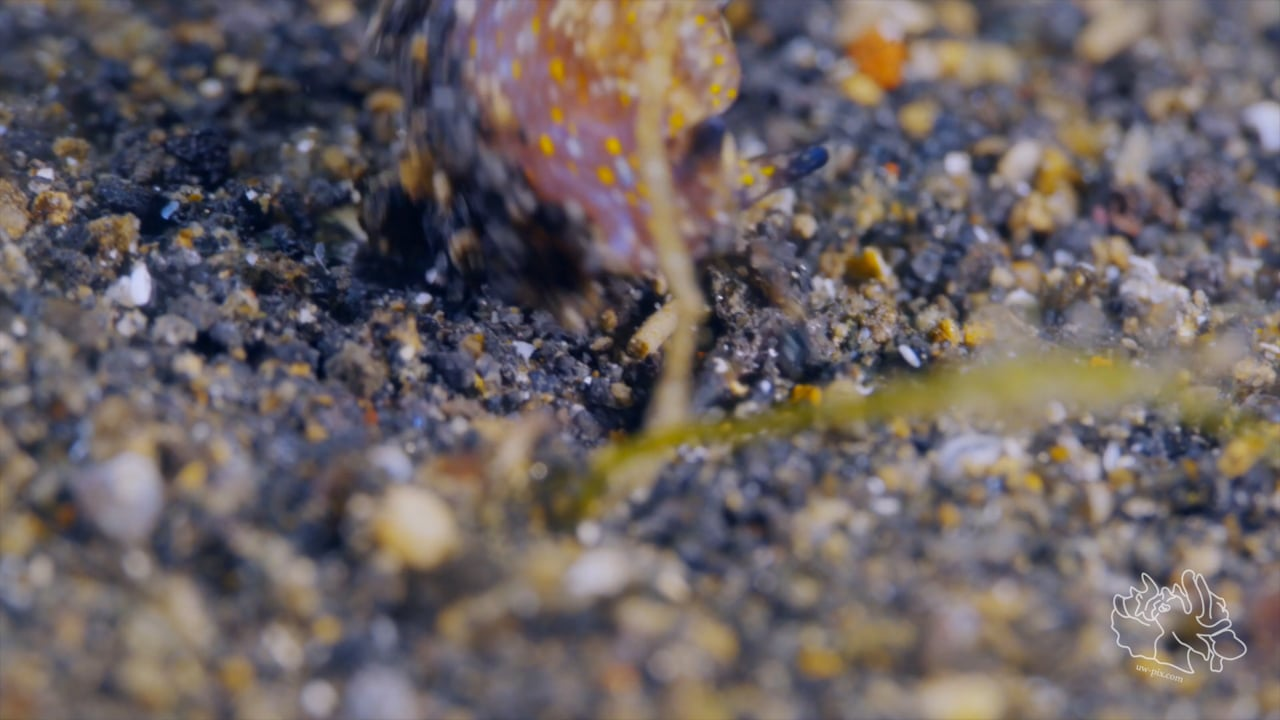 Critters of the Lembeh Strait   SEA WARS - The Skeleton Shrimp strikes back