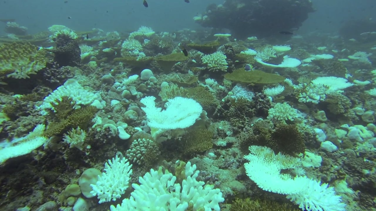 Global warming in Maldives causes serious coral bleaching