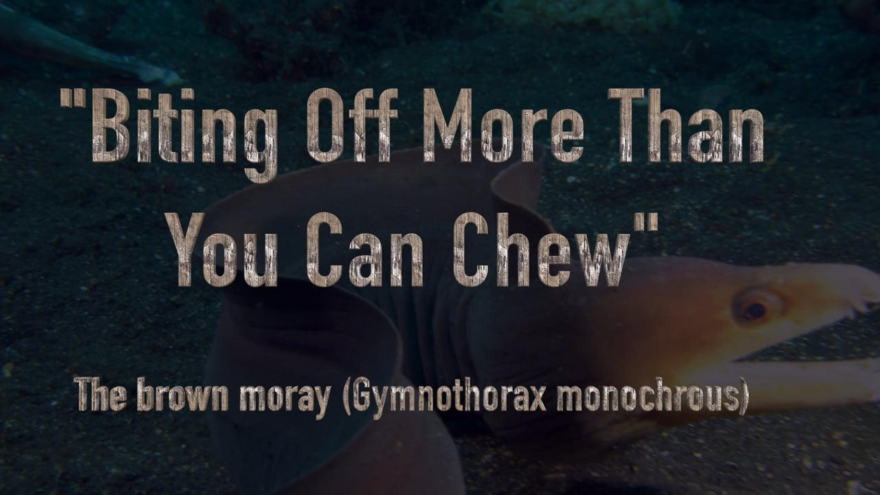 """Critters of the Lembeh Strait   """"Biting Off More Than You Can Chew"""" - The Brown Moray"""