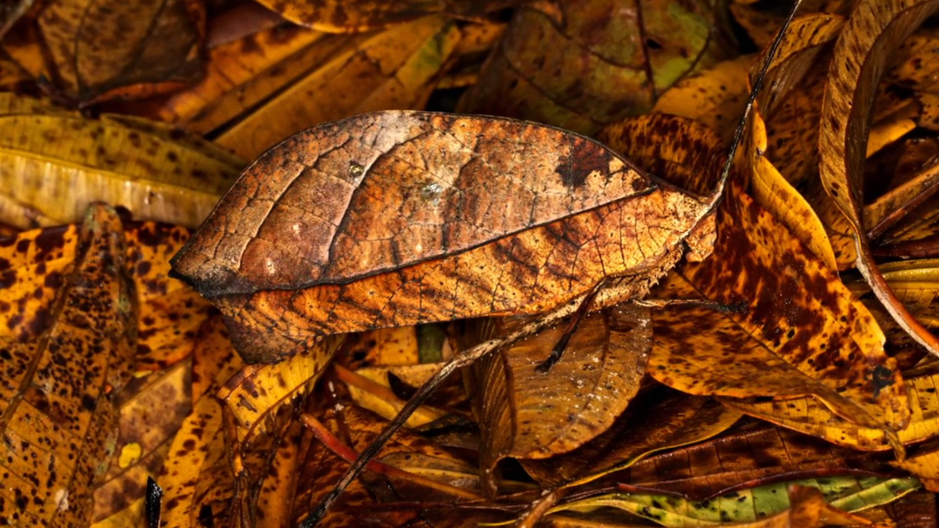 'The Katydid - Masters Of Camouflage'