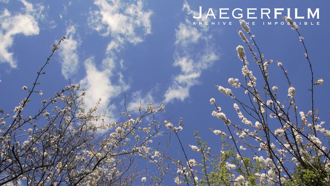 White  Blossom 2