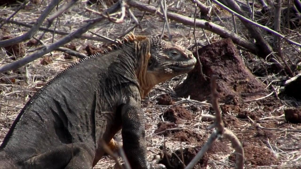 Ecuador, Galapagos Iguanas