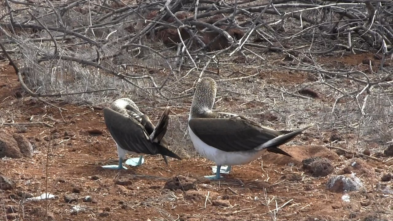 Ecuador: Galapagos' Blue Footed Bobby Dance and Promises