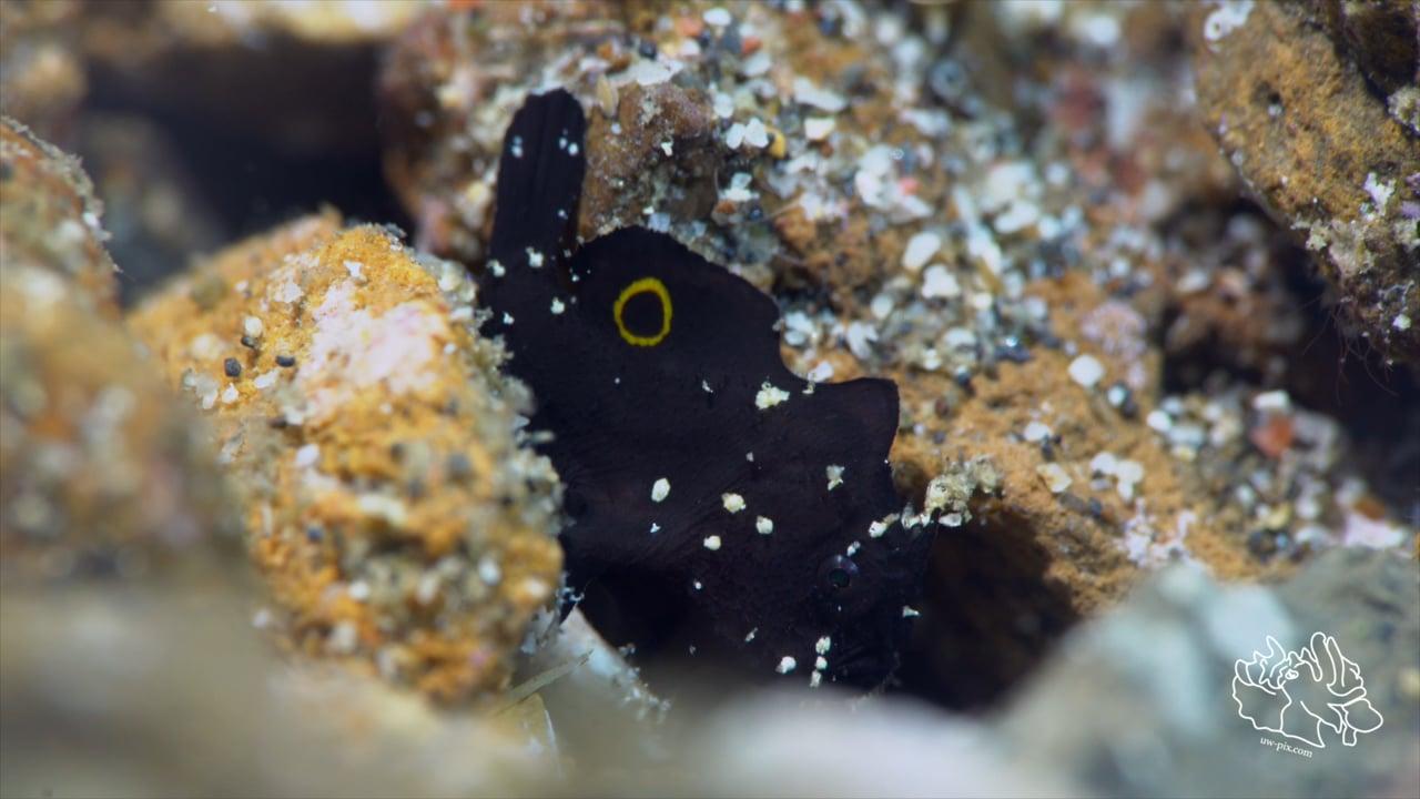 Critters of the Lembeh Strait   Episode 10 - 2016   September Highlights