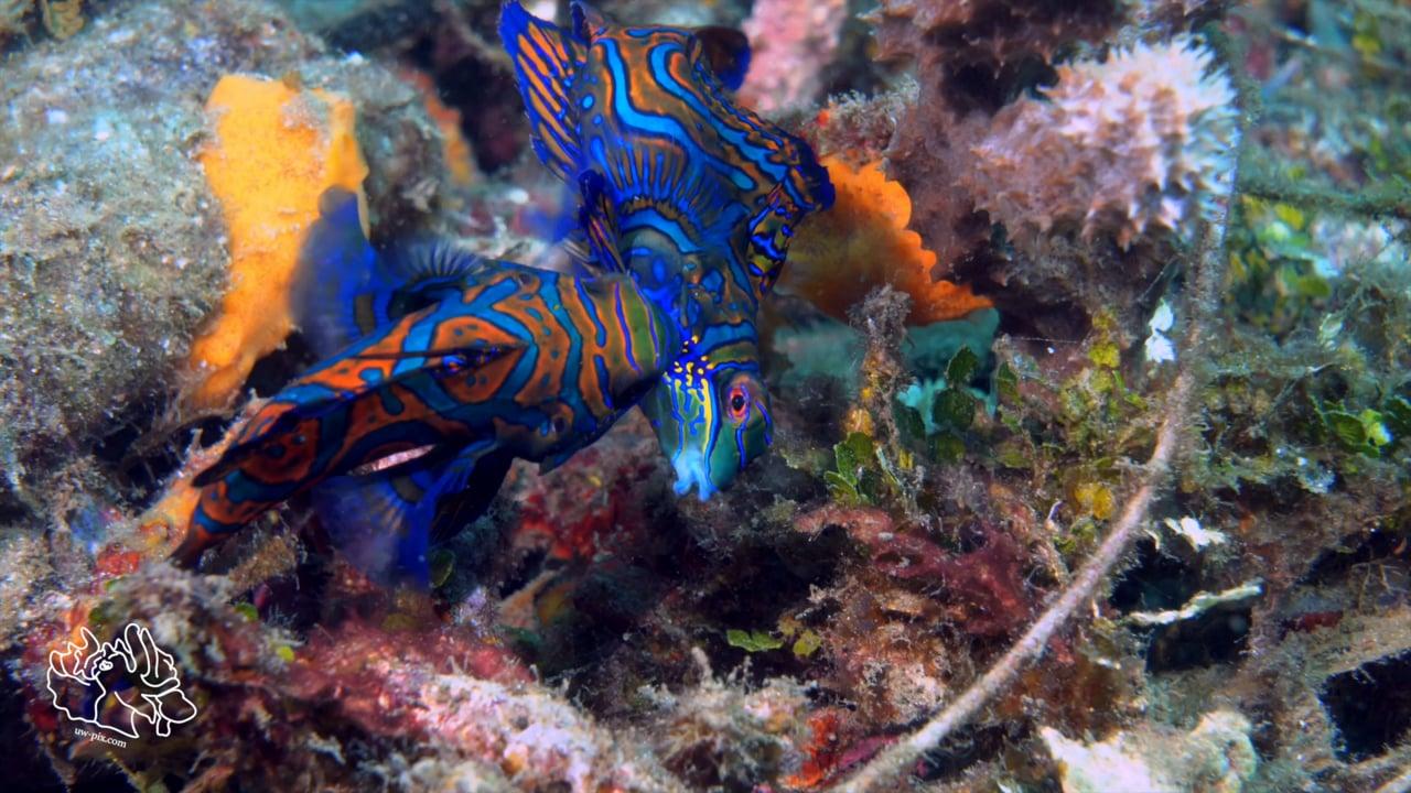 Critters of the Lembeh Strait   SEA WARS - Fighting Mandarin Fish