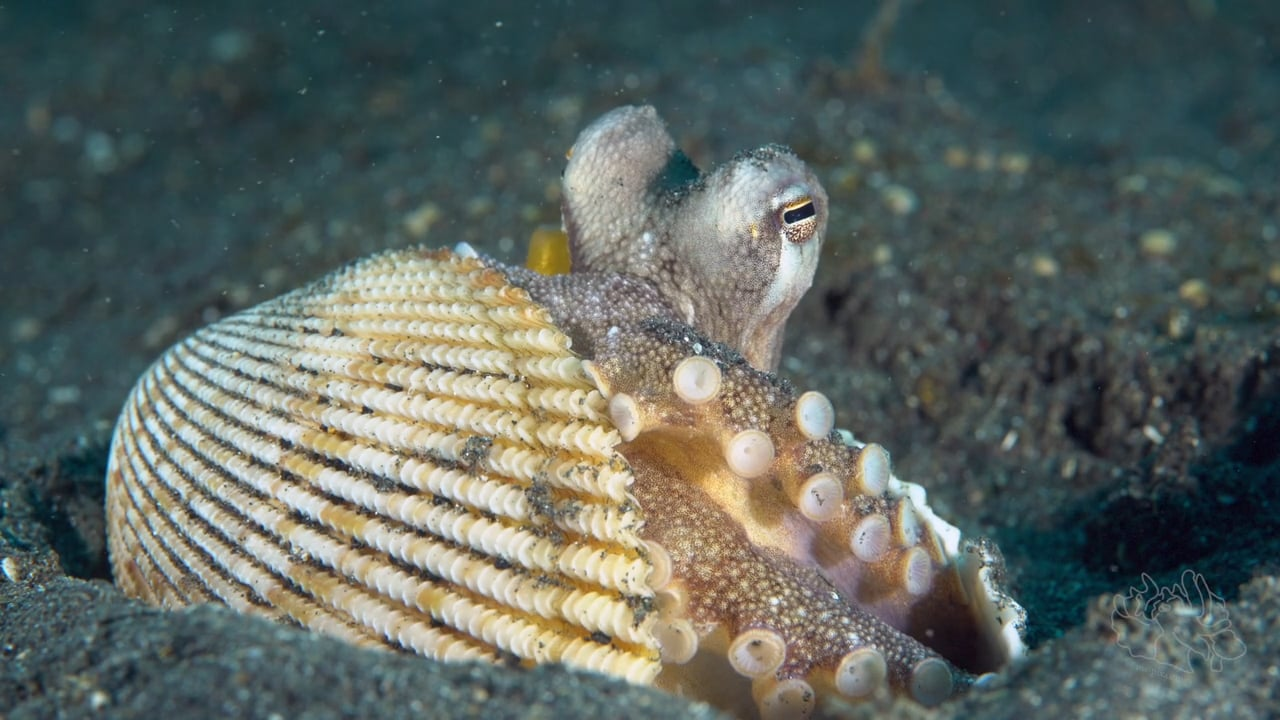 Critters of the Lembeh Strait   Episode 11 - 2016   October Highlights
