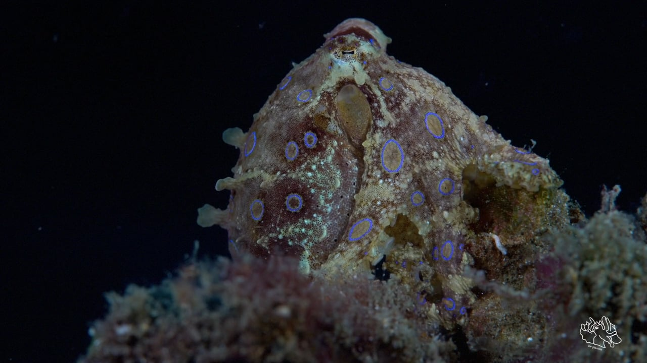 Critters of the Lembeh Strait   SEA WARS - Blue-ring Octopus