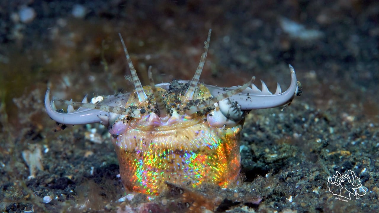 Critters of the Lembeh Strait   Episode 13 - 2016   Highlights of the Year