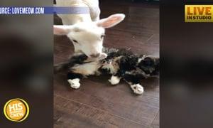 Sickly Lamb and Cat Form Instant Bond