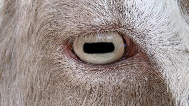 2.19 Goat Eyes