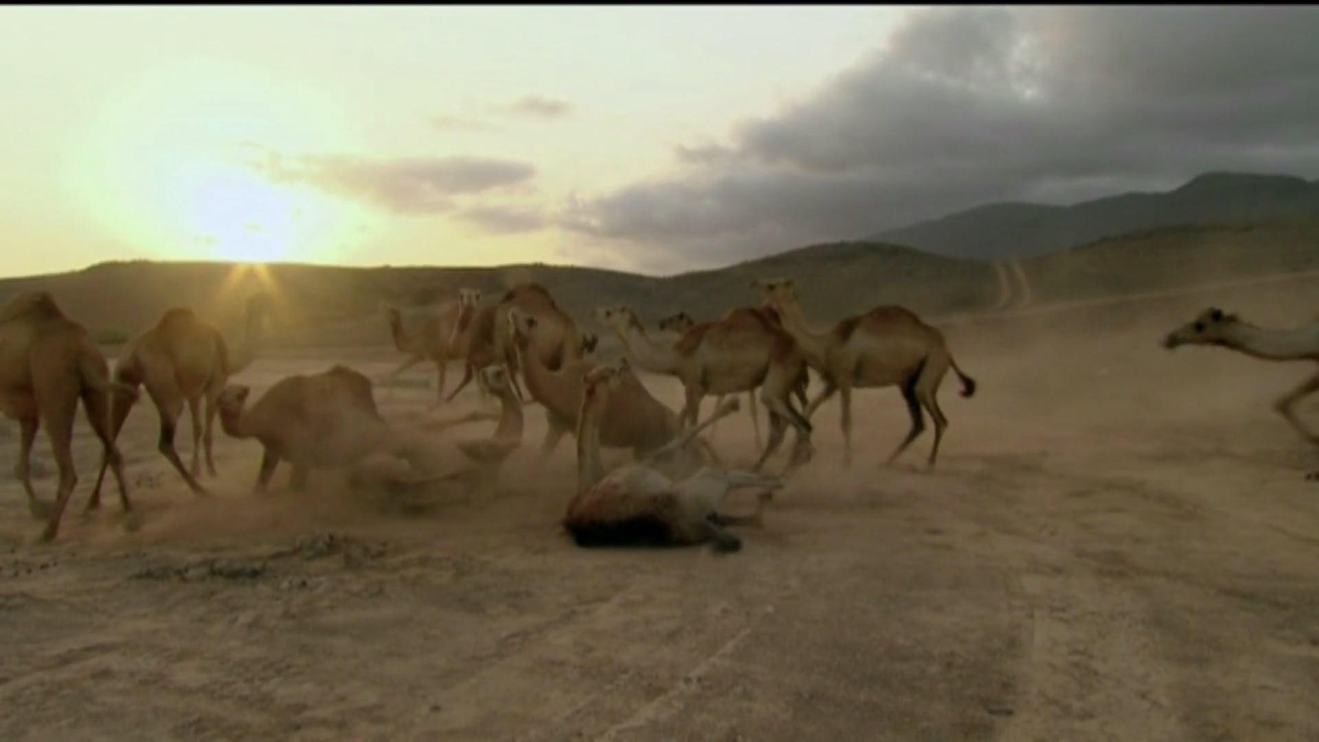 Nat Geo Wild - Ten Deadliest Snakes (with Nigel Marven), Arabia