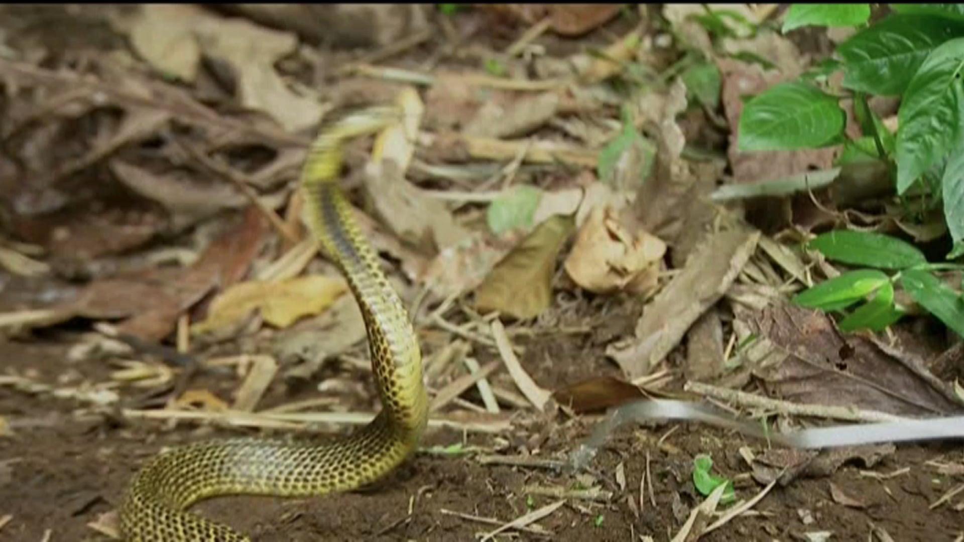 Nat Geo Wild - Ten Deadliest Snakes Philippines