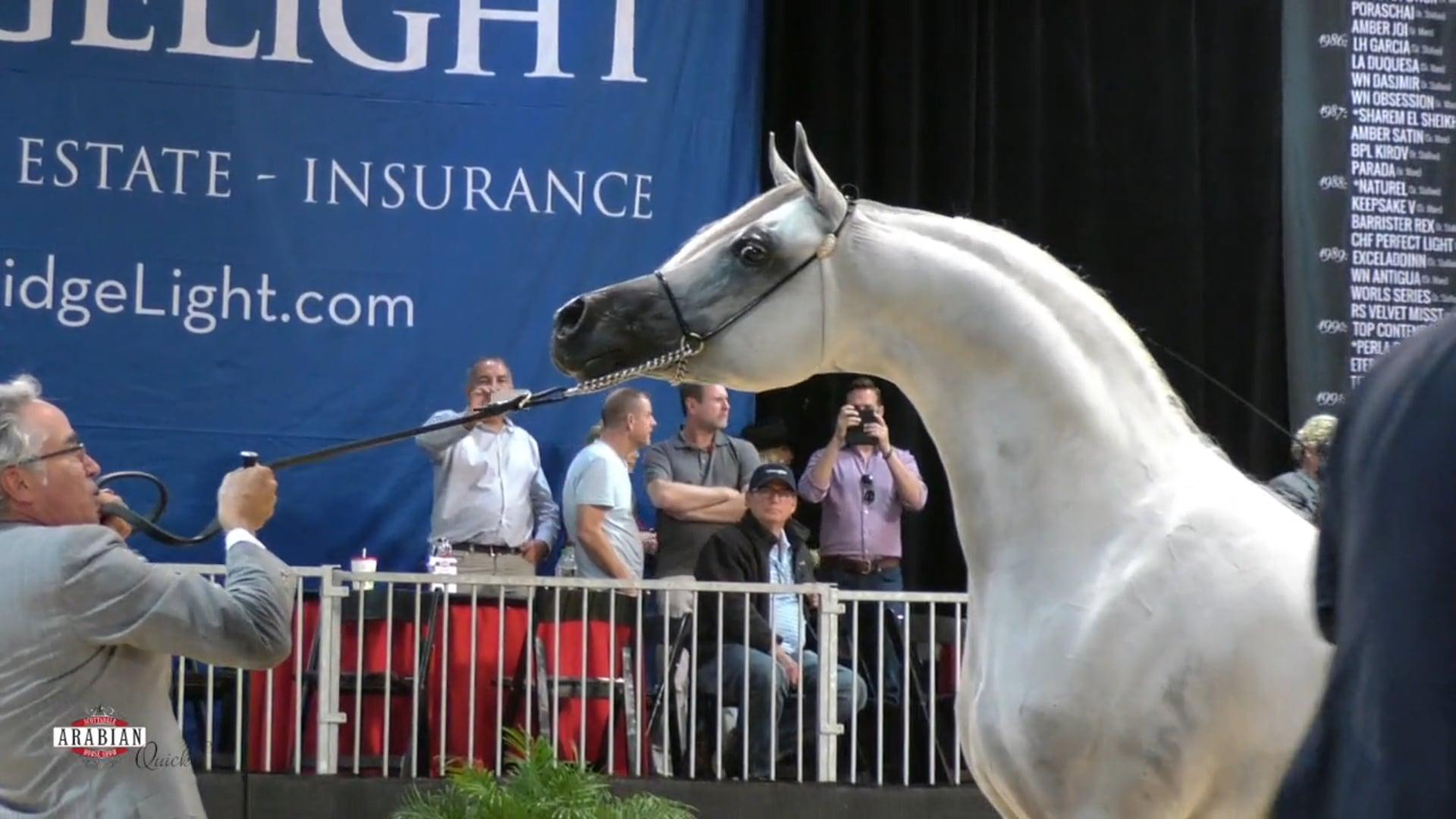 Scottsdale Champion International Stallion, Hariry Al Shaqab