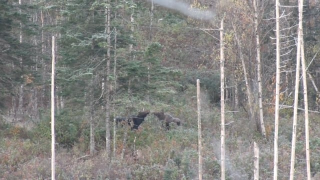 """Hunt of a Lifetime Vermont Moose Hunt with Troy """"Tuff"""" Geiger - 2016 -333"""