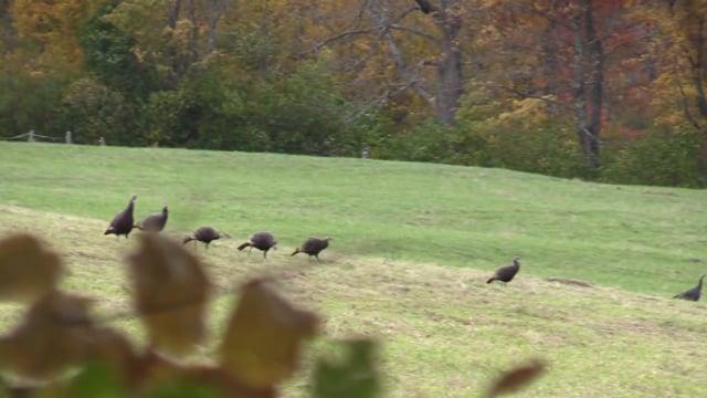 New Hampshire Fall Turkey Hunt with Guide Brett Ladeau -331