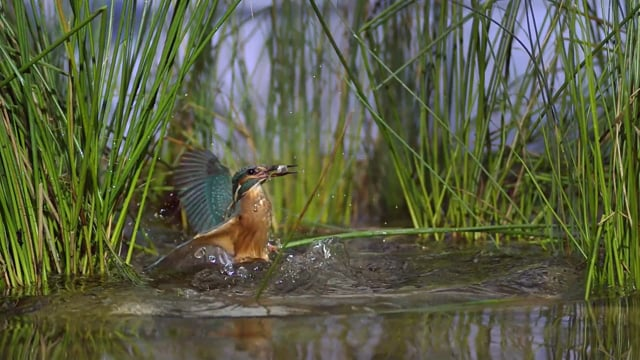 Young Kingfishers