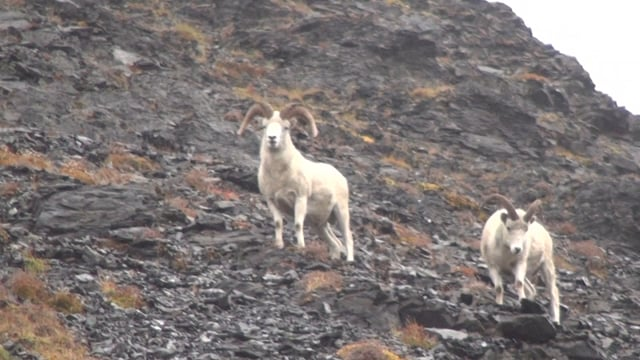 Alaska 2016 Sheep, Moose and Grizzly
