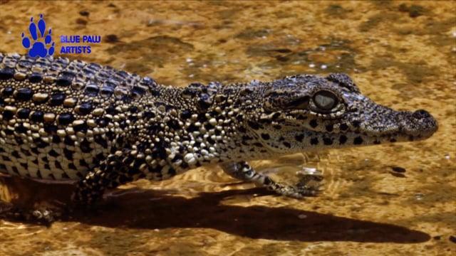 Tough Life of Young Crocodiles
