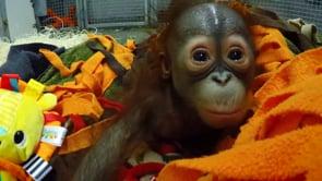Step into the Wild - Baby Orangutan Handling