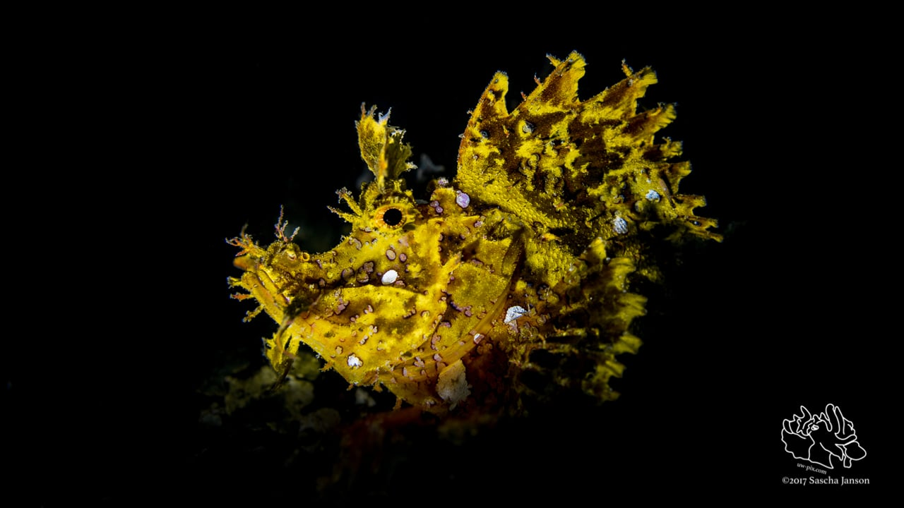 Critters of the Lembeh Strait   2017 June Highlights