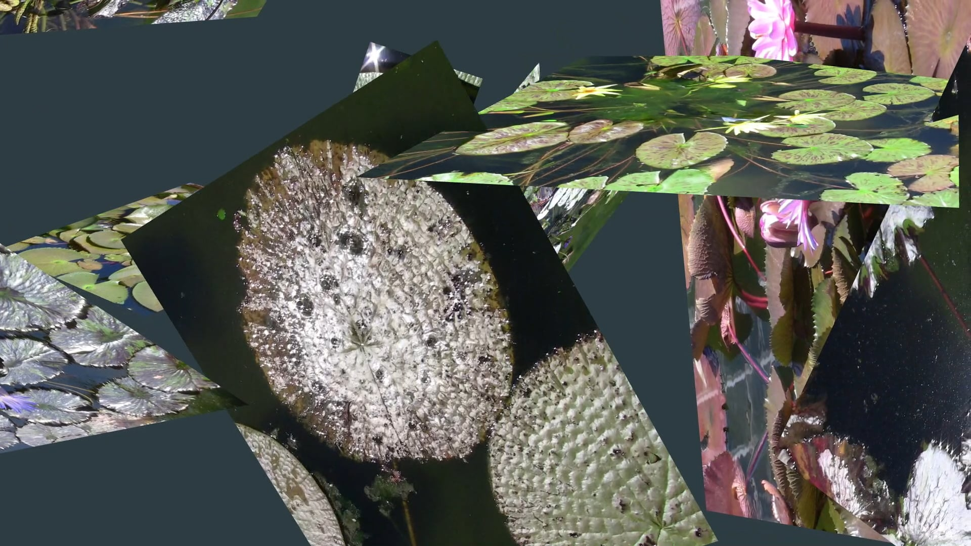 Anamorphic Fluid: Kyoto Water Lilies