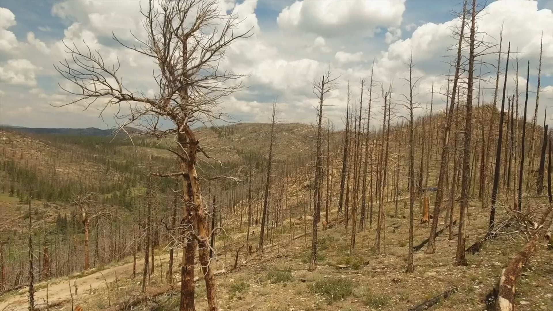 Mountain Pine Beetles & Fire