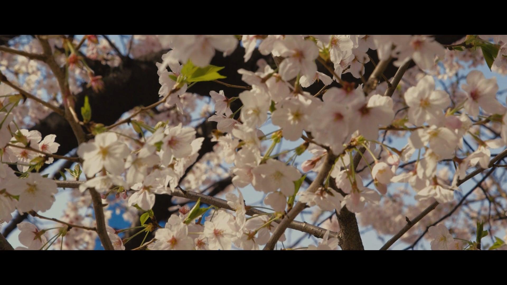 Teaser Sakura サクラ: An Archetypal Journey