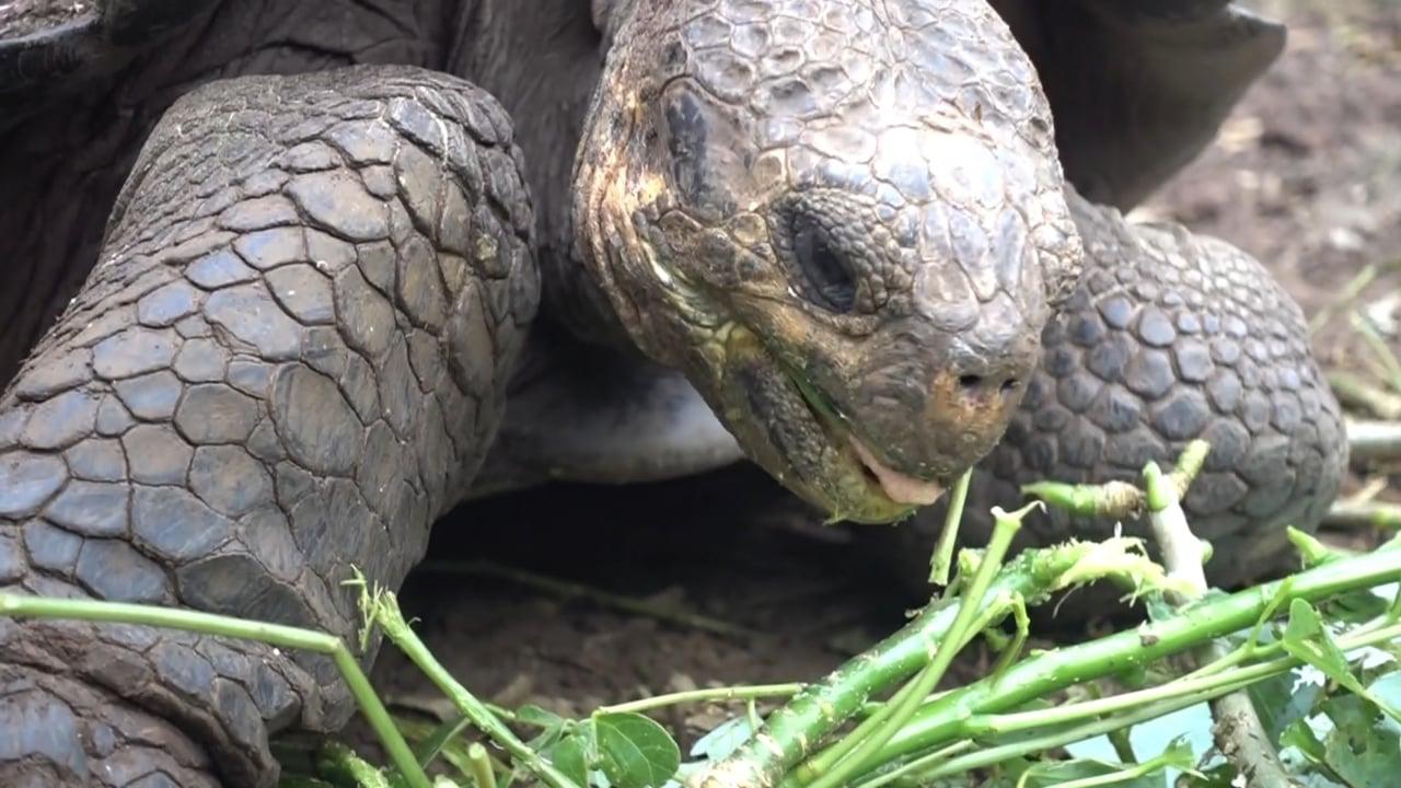 Galapagos Great Tortoise Eating - 1
