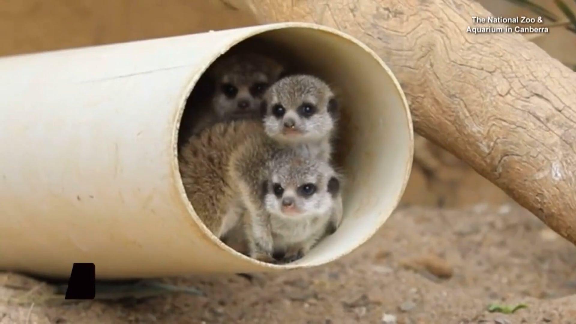 Baby Meerkat Musketeers - CBS Interactive