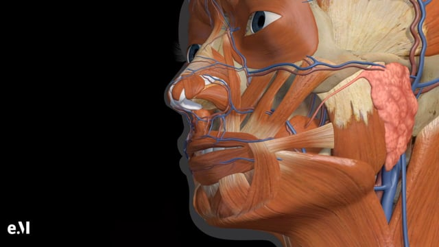 Animated Regional Anatomy Of The Chin, Jawline And Neck