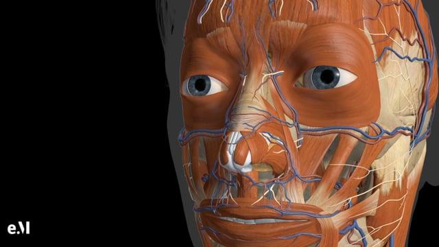 Animated Regional Anatomy Of The Nose