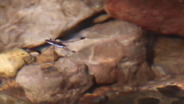 Gerridae (sp.) - Water Strider